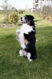 Australian Shepherd Standing Two Legs Smart Pet Animal Paw Pose Pedigree Outdoor Show Stock Photo