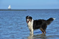Australian Shepherd standing in water Stock Photography