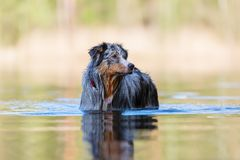 Australian Shepherd stands in a lake Royalty Free Stock Photo