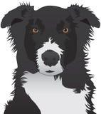 Australian Shepherd Staring. Dog is staring expectantly back toward viewer Stock Image