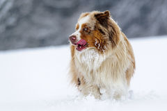 Australian Shepherd stick out one's tongue in cold winter on snowy field Royalty Free Stock Photos
