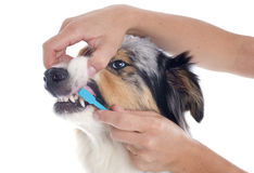 Australian shepherd and toothbrush Royalty Free Stock Image