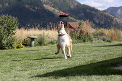 Australian Shepherd waiting for her disk to come down Stock Image