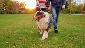 Australian Shepherd on a walk with the hosts. At sunset in the autumn park stock footage