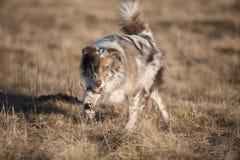 Australian Shepherd walking in nature Royalty Free Stock Photos