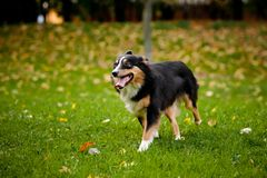 Australian shepherd walks in autumn Stock Photos