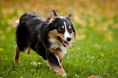 Australian shepherd walks in autumn Royalty Free Stock Photos