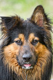Australian Shepherd. This Australian Shepherd was staring right into the camera after running around in a field with other dogs Royalty Free Stock Photos
