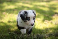 Australian shepherd. A 6 weeks years old australian shepherd Stock Photos