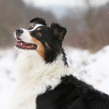 Australian shepherd in winter Stock Photography