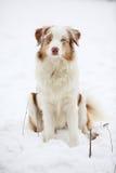 Australian shepherd in winter Stock Image