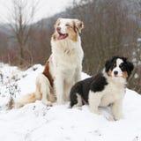 Australian shepherd in winter Royalty Free Stock Photography