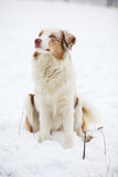 Australian shepherd in winter Royalty Free Stock Images