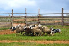 Australian Shepherd working. Border Collie with Australian Shepherd working as sheepdogs with flock of sheep in a meadow Stock Photo