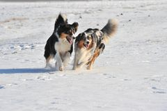 Australian Shepherds Stock Images