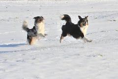 Australian Shepherds. Two australian shepherds running throw the snow stock photo
