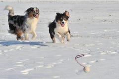 Australian Shepherds. Two australian shepherds playing ball in the snow Stock Photo