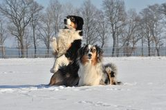 Australian Shepherds Stock Photos