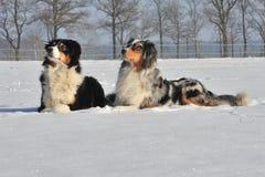 Australian Shepherds. Two australian shepherds lying in the snow Royalty Free Stock Photography