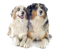 Australian shepherds Royalty Free Stock Images