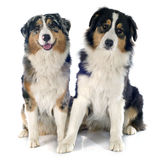 Australian shepherds Royalty Free Stock Photos