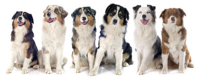 Australian shepherds Stock Photography