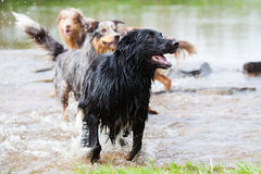 Australian Shepherds playing in the water. Australian Shepherd dogs playing in the water of a river Royalty Free Stock Photos