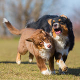 Australian Shepherds scuffle with each other Stock Photos