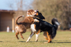 Australian Shepherds scuffle with each other Stock Image
