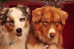 Australian Shepherds Royalty Free Stock Photo