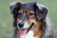 Australian SHeppard portrait Stock Photo