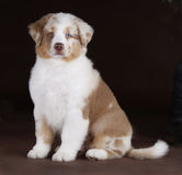 Australian shepperd puppy. Australian shepherd dog with blue and brown eyes  in studio Stock Images