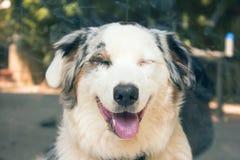 Australian Shepperd smile. Australian Shepperd smiling on my camera. Happy doggy stock image