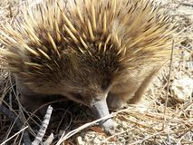 Australian Short-Beaked Echidna Forgaing Stock Photos