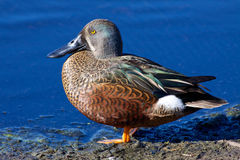 Australian Shoveler Stock Photography