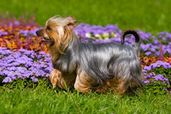 Australian Silky Terrier Stock Photo