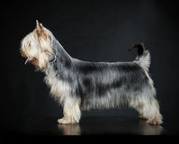 Australian Silky Terrier royalty free stock photography