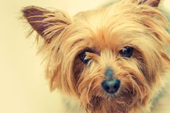 Australian Silky Terrier Dog Royalty Free Stock Photography