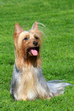 Australian Silky Terrier on a green grass lawn Stock Photos