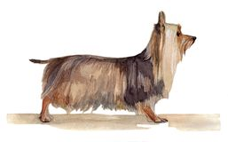 Australian silky terrier painted in watercolor in profile royalty free illustration