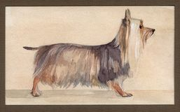 Australian silky terrier painted in watercolor in profile Stock Photo