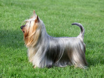 Australian Silky Terrier  in the spring garden Stock Photos