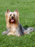 Australian Silky Terrier  in the spring garden Royalty Free Stock Photography