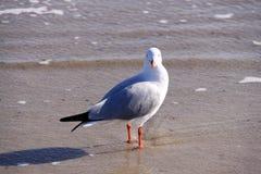 Australian Silver Gull at the Beach. Chroicocephalus novaehollandiae Stock Photography