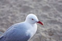 Australian Silver gull Stock Photography