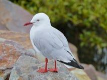 Australian Silver gull Stock Photo