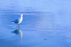 Australian Silver Gull in water royalty free stock photography