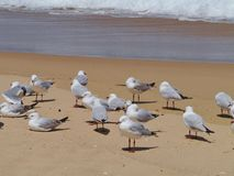 Australian silver gulls Stock Photography
