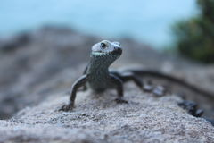 Australian Skink Royalty Free Stock Photos