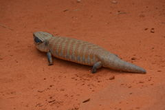Australian Skink Lizard Royalty Free Stock Photos